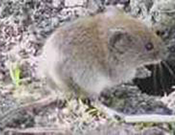 how to get rid of voles naturally