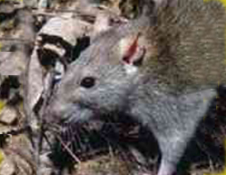 How To Get Rid Of Rats With Nature S Defense All Purpose