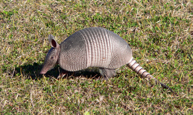 how-to-get-rid-of-armadillos