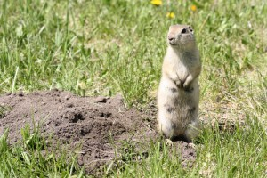 how-to-get-rid-of-gophers