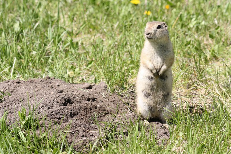 amazing how to get rid of gophers Part - 11: amazing how to get rid of gophers amazing ideas