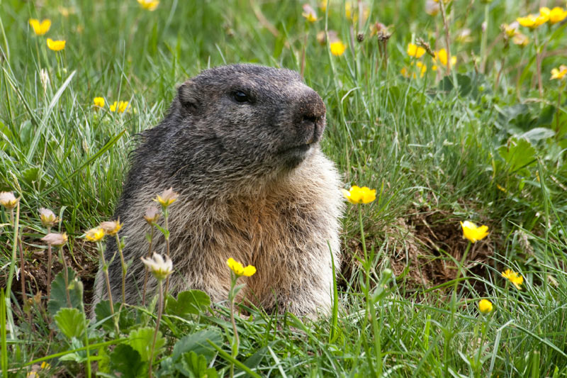 how-to-get-rid-of-groundhogs