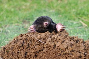 how-to-get-rid-of-moles