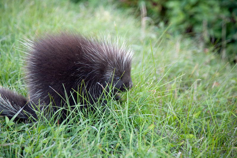 how-to-get-rid-of-porcupines
