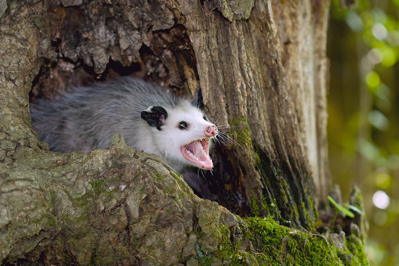 how-to-get-rid-of-possums