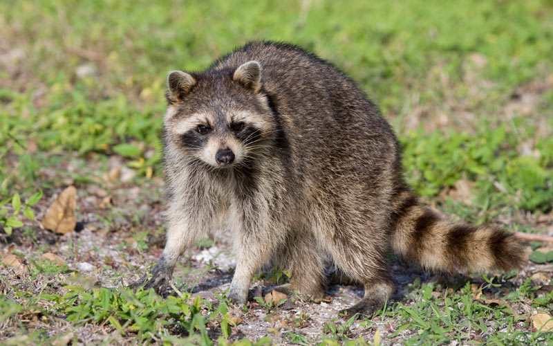 how-to-get-rid-of-raccoons