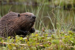 how-to-get-rid-of-beavers