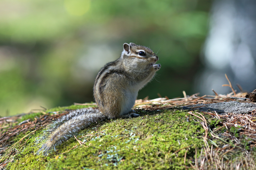 how-to-get-rid-of-chipmunks