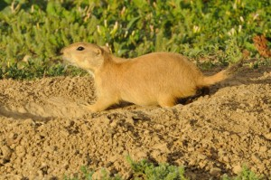 how-to-get-rid-of-prairiedogs