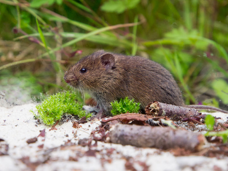 how-to-get-rid-of-voles